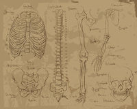 Drawings of human anatomy Royalty Free Stock Images