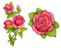 Drawings of pink roses Stock Photography