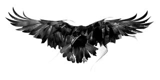 Drawn flying crow on white background front royalty free stock images