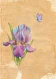 Drawn by hand card. Butterfly and flower an iris Stock Photos