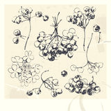 Drawn illustrations of Guelder Rose Royalty Free Stock Photos