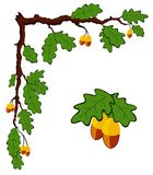 Drawn oak branch with leaves and acorns vector Stock Image