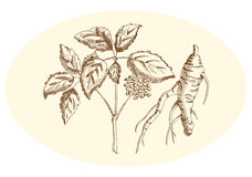 Drawn pencil ginseng, engraving Vector Illustration royalty free stock photography