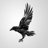 Drawn realistic flying isolated crow. Art realistic flying insulated crow royalty free illustration