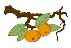 Drawn tangerine with leaves on a branch. Drawing mandarin with leaves on a branch, vector Stock Photography