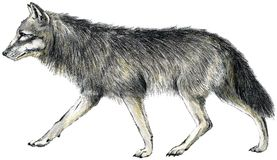 Drawn wolf Stock Photography