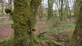 Draynes trä, Golitha nedgångar, Bodmin hed, Cornwall, UK royaltyfri foto