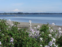 Drayton Harbor in early summer. The view of Mount Baker and Twin sisters from Drayton Harbor beach Stock Photography