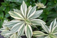 Drazena variegata w szklarnianym zbliżeniu obrazy stock