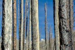 Dread trees in an old forest fire with other burned trees Stock Photos