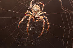 Dreadful Cross spider Royalty Free Stock Images