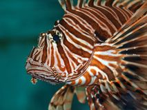 Dreadful fish Royalty Free Stock Image