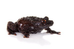 Dreadful mossy frog, Theloderma horridum, on white Stock Image