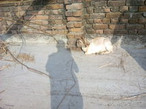 Dreadful person. This is a picture of a wonderfil scenary where a man haunts a goat Royalty Free Stock Photos