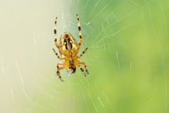 Dreadful spider on the web eating his victim Stock Photo
