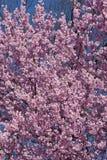 Dream Catcher flowering cherry stock image