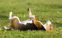 The dream of a dog, puppy lie down Royalty Free Stock Images