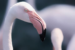Dream Flamingo. Beautiful dream-like image of a Greater Flamingo. Eye is sharp but overall image has a soft feel, Gorgeous pink colours against a greeny blue Stock Photography