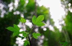 Dream of the green leaves. Light through the vibrant green leaves,leaf vein on mixed clearly visible,full of vitality Stock Images