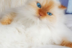 Dream Kitty Royalty Free Stock Images