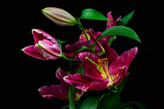 Dream of lilies Royalty Free Stock Photos