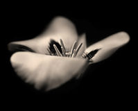 Dream Lily in Sepia. A sepia toned black and white image of a Mariposa Lily. Image has a grainy, artistic, dreamlike quality to it, with a purposeful shallow Royalty Free Stock Images