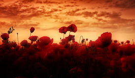 Dream in the morning. Early morning dream of a poppy field stock photos