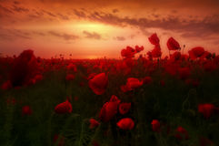 Dream in the morning. Early morning dream of a poppy field royalty free stock photography