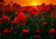 Dream in the morning. Early morning dream of a poppy field stock images
