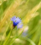Dream photo of blue cornflower on summer meadow Stock Images