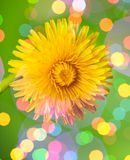 Dream spring dandelion Royalty Free Stock Photography