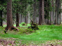 Dream Sumava Forest Royalty Free Stock Image