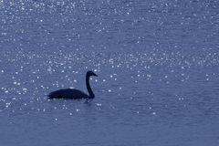 Dream Swan Royalty Free Stock Photo