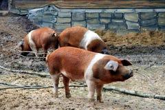 Dream Team. Herd of Wild Boars Stock Image