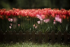Dream tulip Royalty Free Stock Photography