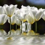 Dream tulips. White tulips in water (very sharp royalty free stock photography