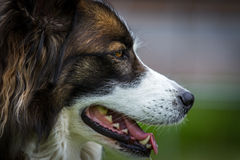 Dreamdog. A scary handsome dog with a very serene nature, angeschnittenes profile picture Stock Photo