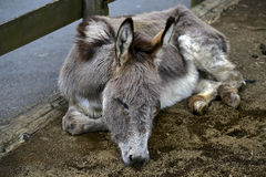 Dreamed about donkey. A donkey seems to sleep soundly and be having a dream Royalty Free Stock Photos