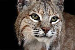 The Dreamer. Closeup of a Bobcat against a black background Stock Photos