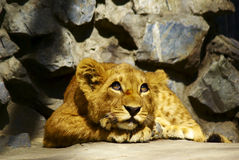 Dreamer baby lion. Lying lion baby eyes wide open looking up and dreaming Stock Photos