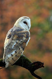 Dreaming. Closeup of a Barn Owl against autumn colors Royalty Free Stock Photo