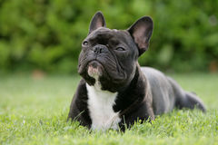 Dreaming bulldog. Portrait of a French bulldog dreaming Royalty Free Stock Photography