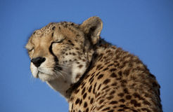 Dreaming cheetah Stock Photography