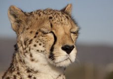 Dreaming cheetah Royalty Free Stock Photos