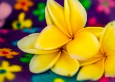 Close up of Yellow Frangipani Blossoms on multi-colored flowered background. royalty free stock photos