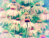 Dreaming of Coneflowers - Retro Stock Photos