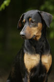 Dreaming doberman dog Royalty Free Stock Images