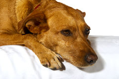 Dreaming dog Royalty Free Stock Photography
