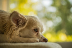 Dreaming dog Royalty Free Stock Photo