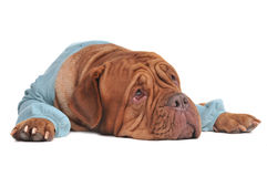 Dreaming dog lying looking up Stock Image